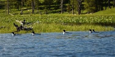Common Mergansers on Jackson Lake near Colter Bay