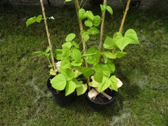 Bean seedlings ready to get climbing
