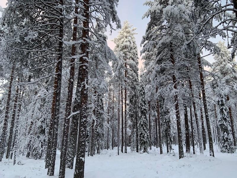 Foret en Laponie