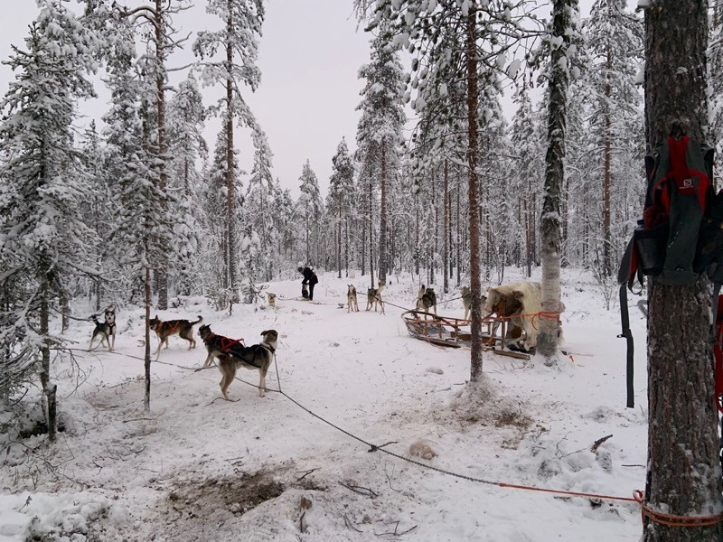 Chiens de traineau Rovaniemi