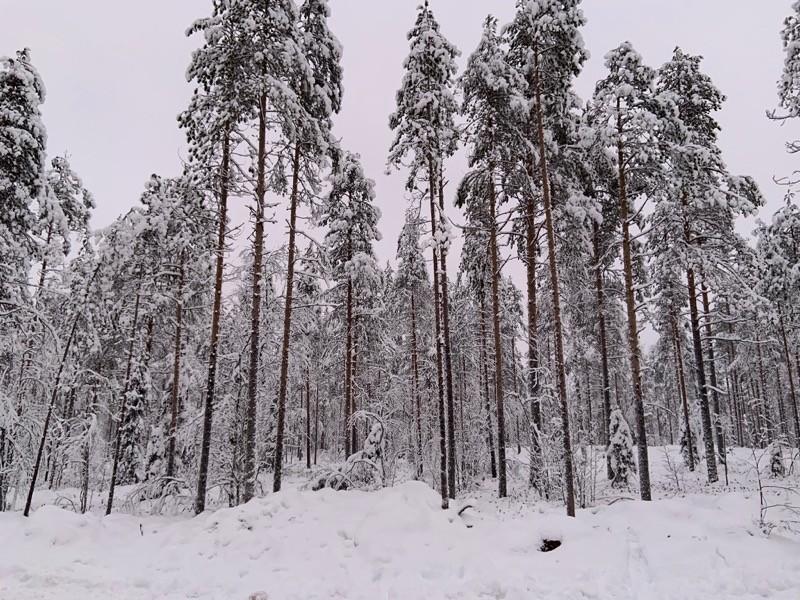 Foret Laponie