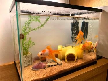 金魚の水槽が緑色に!良い緑色の水と悪い水の見分け方と対処法