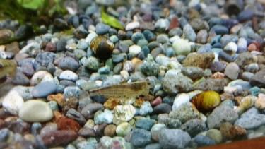 初心者向け川エビの飼い方、生息する種類と飼育道具、環境、注意点