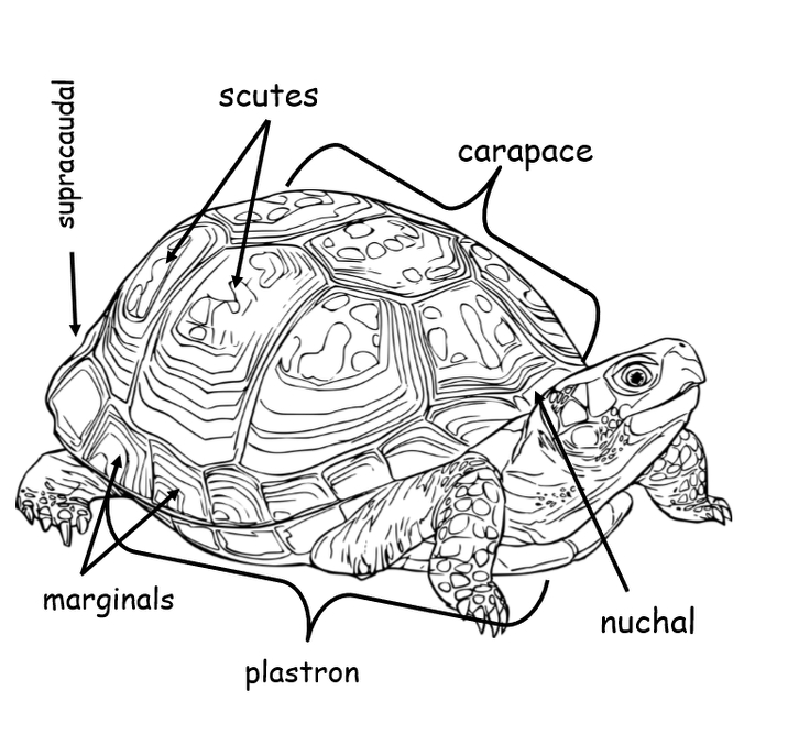 My Book About Tortoises Grades 2-4, 47 Pages