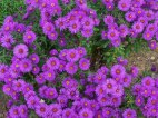 aster-flowers-wallpapers-08