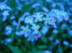 forget_me_not_flowers_6_by_snorasaurus-d3epbh8