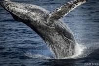 humpback whale hornblower cruise ocean san diego marine life