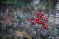 plants red berries