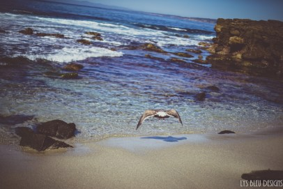 ocean la jolla seagull