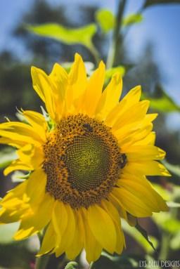 flowers sunflower carlsbad flower fields