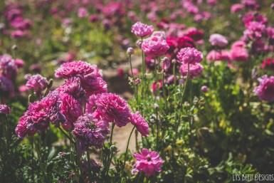 flowers ranunculus carlsbad flower fields 4