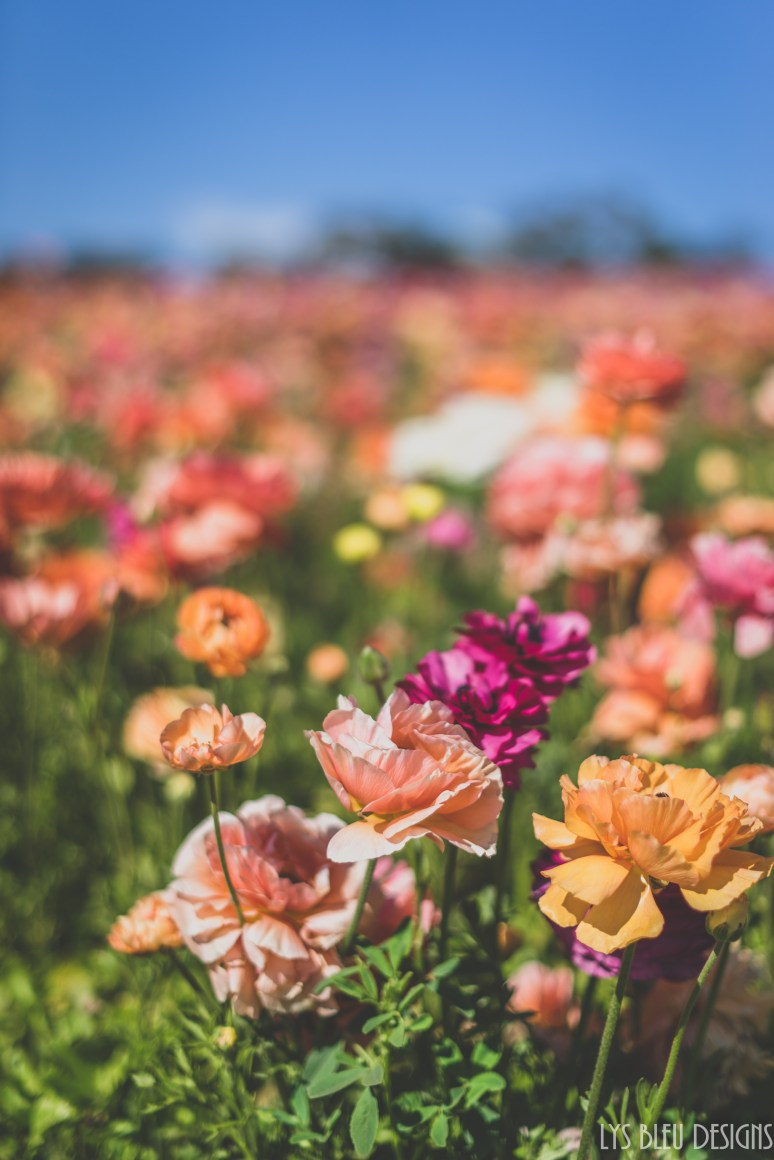 flowers ranunculus carlsbad flower fields 1