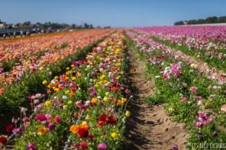 flowers ranunculus carlsbad flower fields 2