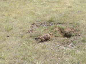 Prairie Dog resident of Devil's Tower National Monument.