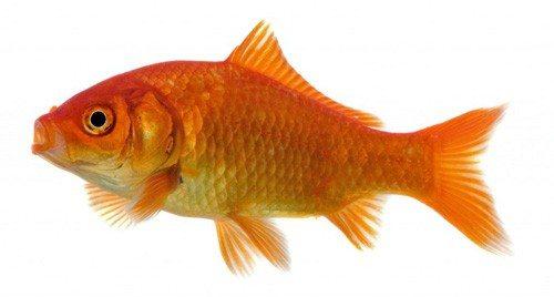 goldfisch-1024x549