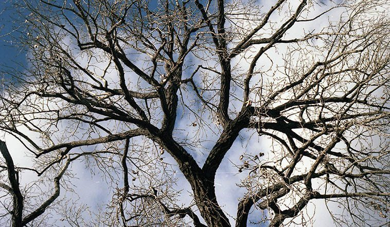 Cottonwood in winter -- Santa Fe -- March 19, 1993 -- photo by Mark Weber