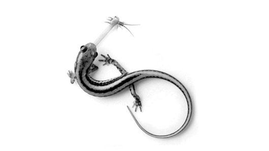 Salamander-IOTW-011516