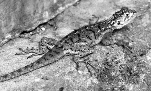 Lizard_-_e