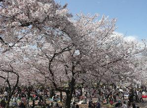 万博公園の桜