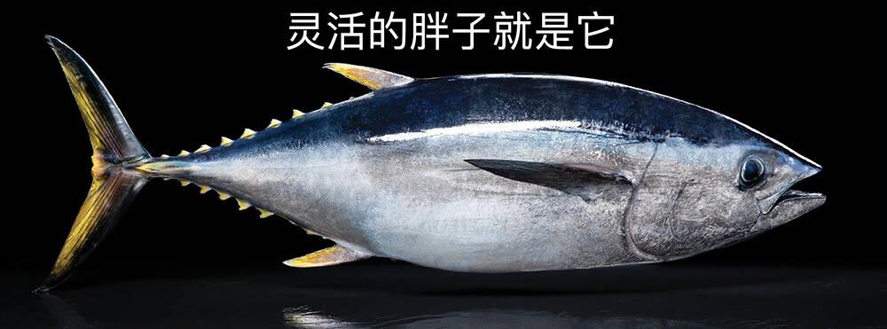 藍鰭金槍魚:一種我用一個月工資都買不起一條的魚 - 京東