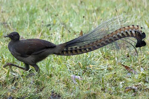 سبحان الله طائر Lyrebird يقلد صوت المنشار والكاميرا