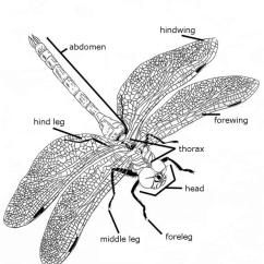 Dragonflies Eye Diagram Scart Wiring A Three Part Body Space For Life Parts Of The Dragonfly