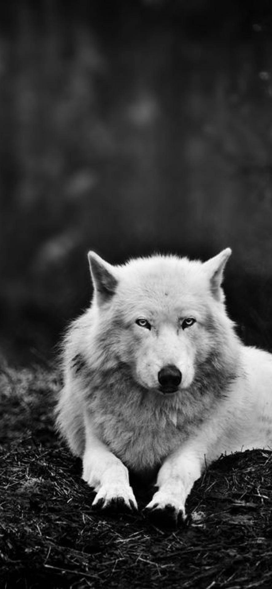 Wolf Wallpapers Top 75 Best Wolf Backgrounds Download