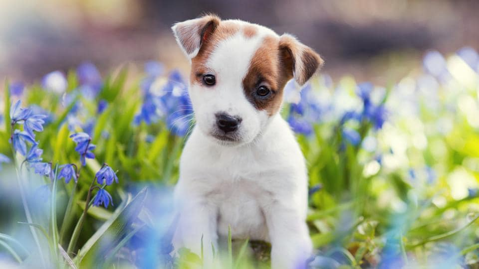 This Is The Reason You Find Your Pet Puppy Cute Dogs Cuteness Peak At 8 Weeks More Lifestyle Hindustan Times