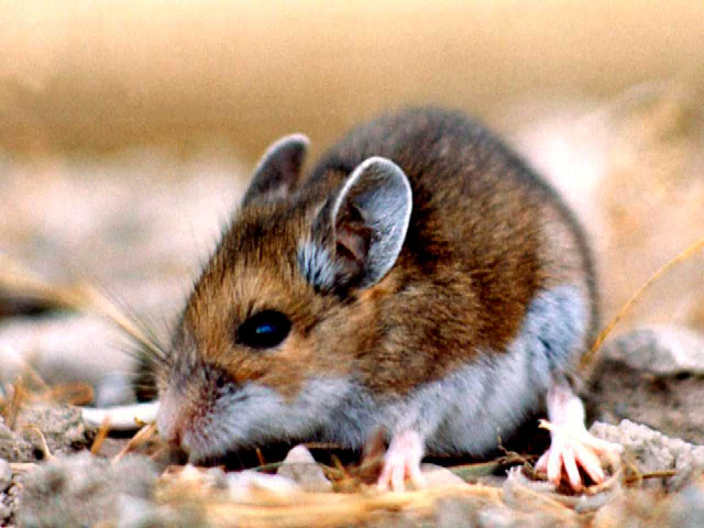 What is Hantavirus? Know all about its symptoms, mode of ...