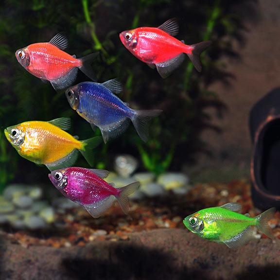 glofish tetra assorted 10