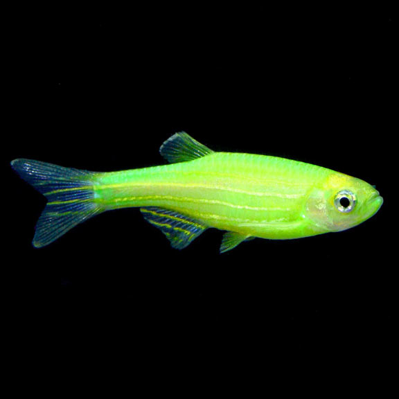 tropical fish for freshwater