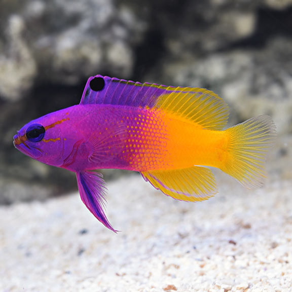 saltwater aquarium fish for