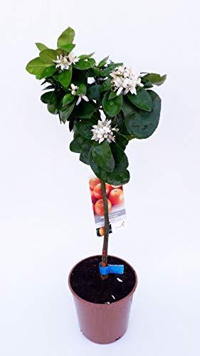 Fruit de Botanicly – Mandarinier – Hauteur: 90 cm – Citrus Reticulata