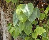 zumari 50 Semillas de rbol Ficus religiosa Verde.