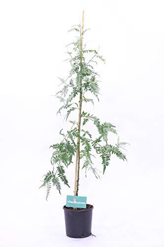 Pianta o Albero di Schilus Molle o Falso Pepe da esterno ornamentale v20 H150cm