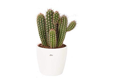 Cactus et plante grasse de Botanicly – Pilosocereus en pot de fleur blanc comme un ensemble – Hauteur: 50 cm – Pilosocereus Gounelii