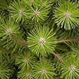 Grmenes japoneses rojo del rbol de pino (Pinus densiflora) 25 + Semillas (100+)