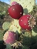 Opuntia ficus indica nopal cactus comestible jugo de Nopalea semilla Nopalina 20 semillas R