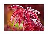 RP seeds Acer palmatum Osakazuki (Arce Japons) - 10 semillas