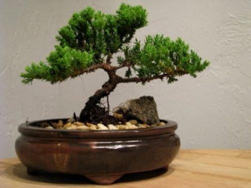 Live Bonsai Tree - Juniper Tree Bonsai Indoor Decoration Flowering House Plant