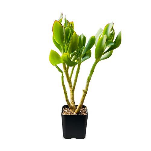 Succulent Plant, Crassula Arborescens Undulatifolia Ripple Jade,...