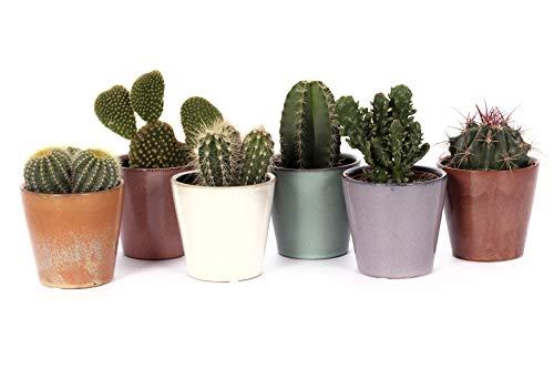 Cactus et plantes grasses de Botanicly – 6 × Cacti – Hauteur: 18 cm – Cactus Mini