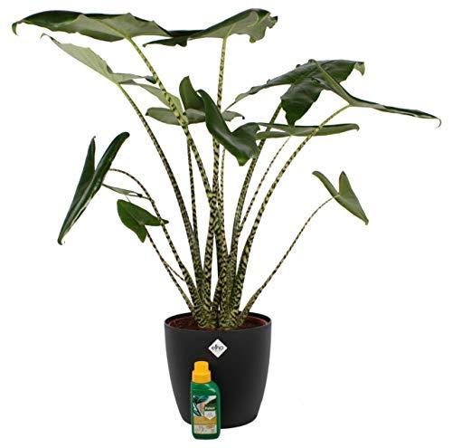 Plante d'intérieur de Botanicly – Oreille d'éléphant en pot de fleur noir + 250 ml d'engrais comme un ensemble – Hauteur: 100 cm – Alocasia Zebrina