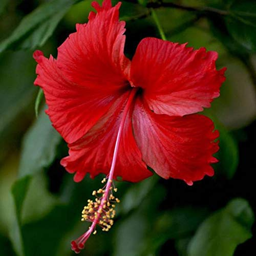 Live Hibiscus, joba, Gudhal Red Flower Plant 1 PC with Pot : Amazon.in: Garden & Outdoors