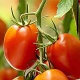 Tomate'Rio Grande' Lot de 25 graines de Portugal 100% naturelles, Rarité absolue,...
