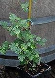Potseed Las Semillas de germinacin: 100 Semillas: Semillas Ficus Afghanistanica, Montaa de Pollo,