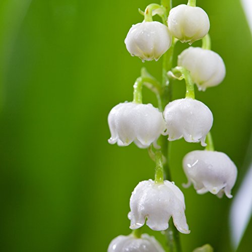 Lily of The Valley Bulbs - 6 Large 2-Year Old Flowering Pips - Fragrant | Ships from Easy to Grow