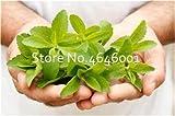 Bloom Green Co. Bonsai 100 piezas Stevia Rebaudiana Plantas Bonsai de vainilla con hacer flor de balcn flor de hoja perenne CHINESE Berb bonsai para jardn de casa: 2