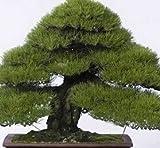 30pcs semillas del rbol de pino japons, Pinus thunbergii semillas, semillas de rboles bonsai para el hogar bricolaje establecimiento del jardn