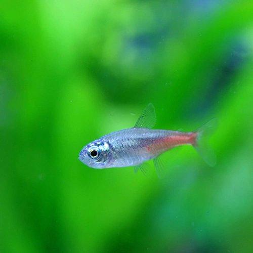 (熱帯魚)ダイヤモンドヘッドネオンテトラ(約3cm)<10匹>[生体]